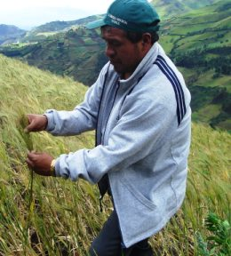 Ecuadorian farmer in productive wheat field