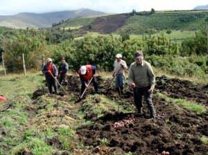 Ecuadorian farmers harvesting traditional potato varieties in Carchi, Ecuador.
