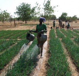 Woman watering field in village in Burkina Faso.
